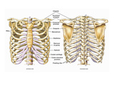 Illustration of the Thoracic (Chest and Back) Skeletal Anatomy, Featuring the Ribs, Sternum Giclee Print by  Nucleus Medical Art