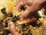 Close Up of Human Hands Working with Wax Cells and Honey Bees in a Hive Photographic Print by Eric Tourneret