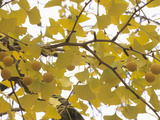 Female Ginkgo or Maidenhair Tree (Ginkgo Biloba) with Fruit and Fall Leaves Photographic Print by  Consumer Institute/NSIL