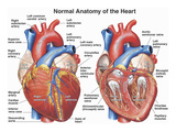Normal Anatomy of the Human Heart Reproduction procédé giclée par  Nucleus Medical Art