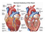 Normal Anatomy of the Human Heart Giclée-Druck von  Nucleus Medical Art