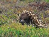 Short-Beaked Echidna (Tachyglossus Aculeatus), Tasmania, Australia Photographic Print by Dave Watts