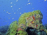 Bonaire Coral Reef with Star Coral (Montastrea) and a Chromis Fish School, Caribbean Photographic Print by David Wrobel