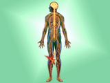 Illustration of the Nervous System in the Human Body with Knee Pain Indicated Photographic Print by Carol & Mike Werner