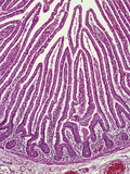 Section of the Human Ileum of the Small Intestine Showing Simple Columnar Epithelium Photographic Print by Gladden Willis