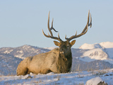Elk (Cervus Elaphus), Yellowstone, Wyoming, USA Photographic Print by Tom Walker