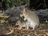Tasmanian Bettong (Bettongia Gaimardi) Female and Joey, Tasmania, Australia Photographic Print by Dave Watts