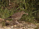 Song Thrush (Turdus Philomelos) Smashing Snails on a Rock, England Photographie par Dave Watts