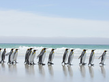 King Penguins Walking Along a Sandy Beach (Aptenodytes Patagonicus), Falkland Islands Photographic Print by Solvin Zankl