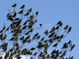 Red-Wing Blackbird Flock Gathering Prior to Night Roost, North America Photographie par Tom Walker