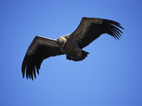 Griffon Vulture (Gyps Fulvus), Pyrenees, Spain Photographic Print by Dave Watts