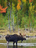A Male Moose (Alces Alces) Drinking Water, Baxter State Park, Millinocket, Maine, USA Photographic Print by Gustav Verderber