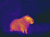 Thermogram Showing Temperature of the Capybara the Tempera Photographic Print by  Scientifica