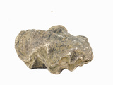"Fossil Oyster, Miocene, Casamarca, Peru, Size 3-3/4"" X 3"" Photographic Print by  Scientifica"