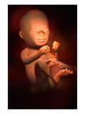 Illustration of Week 21 in Fetal Development Giclee Print by  Nucleus Medical Art
