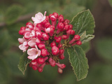 Aurora Variety of Korean Spice (Viburnum Carlessii) Photographic Print by  Consumer Institute/NSIL