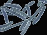 Escherichia Coli Bacteria (Commonly known as E Coli) Photographic Print by  Scientifica