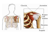 Anterior Overview of the Male Upper Torso Highlighting the Rotator Cuff Giclee Print by  Nucleus Medical Art