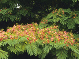 Silk Tree (Albizia Julibrissin) in Flower Photographic Print by  Consumer Institute/NSIL