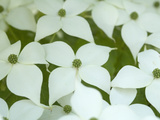 Oriental Dogwood Tree in Bloom (Cornus Kousa) Photographic Print by Scientifica