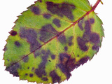 Downy Mildew on Rose Leaf Photographic Print by  Scientifica