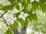 Oriental Dogwood Tree Flowers (Cornus Kousa) Photographic Print by  Scientifica
