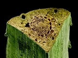 Pine (Pinus) Needle Cross-Section, SEM X134 Photographic Print by  Kessel & Shih