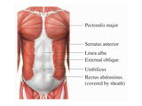 This Full Color Stock Medical Exhibit Illustrates the Anterior Muscles of the Torso Giclee Print by  Nucleus Medical Art