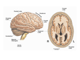Illustration of the Primary Anatomy of the Normal Healthy Human Brain from an Anterior Giclee Print by  Nucleus Medical Art
