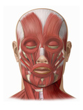 Illustration of the Human Face Muscles Showing the Following: Frontalis, Orbicularis Oculi Giclee Print by  Nucleus Medical Art