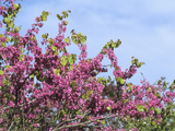 Judas Tree (Cercis Siliquastrum) Flowers Photographic Print by  Consumer Institute/NSIL