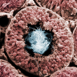 Cross Section of a Human Testis Tubule Filled with Sperm, SEM, X363 Photographic Print by  Kessel & Kardon