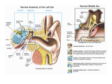 Accurately Depicts the Normal Anatomy of the Ear Cutaway of the External Auditory Canal Giclee Print by  Nucleus Medical Art