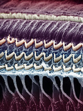 Hair Cells in a Mammal Cochlea, the Portion of the Inner Ear That Is Responsible for Hearing Photographic Print by  Kessel &amp; Kardon