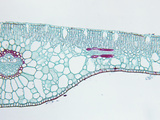 Cross-Section of a Pondweed (Potamogeton) Hydrophytic Monocot Leaf, LM X30 Photographic Print by  Biodisc