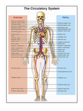 Illustration of the Human Circulatory System Labels for Heart and Arteries: Internal Carotid Giclee Print by  Nucleus Medical Art