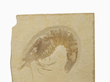 Fossil Shrimp Penaeus Speciosus) Jurrasic, Nesozoic Crustacean, Solnhofen, Bavaria Photographic Print by  Scientifica