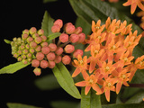 Butterfly Weed (Asclepias Tuberosa) Photographic Print by  Scientifica