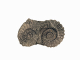 Ammonite Fossil, Peru Photographic Print by  Scientifica