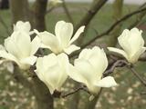 Yulan Magnolia Flowers (Magnolia Denudata) Photographic Print by  Consumer Institute/NSIL