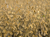 Soybeans, Iowa Photographic Print by  Scientifica