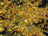 Autumn Foliage of Katsura Tree (Cercidiphyllum Japonicum) Photographic Print by  Consumer Institute/NSIL