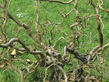 Twisted Stems of Hazel or Filbert (Corylus Avellana), Contorta Variety Often Called Walking Stick Photographic Print by  Consumer Institute/NSIL