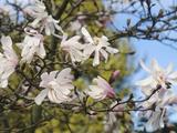 Star Magnolia (Magnolia Stellata), Rosea Variety Photographic Print by  Consumer Institute/NSIL