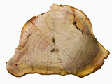 Petrified Wood (Araucaria), Brazil Impressão fotográfica por  Scientifica