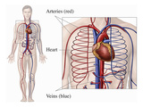 Illustration of the Primary Circulatory System Anatomy Within a Male Body from an Anterior Giclee Print by  Nucleus Medical Art