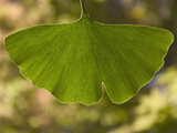 Ginkgo Biloba Leaf Extracts from the Leaves of the Ginkgo are Believed to Have Medicinal Value Photographic Print by  Scientifica