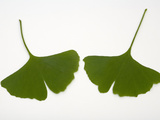 Ginkgo Biloba Leaves Photographic Print by  Scientifica