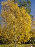 Silver Birch in the Fall (Betula Pendula) Photographic Print by  Consumer Institute/NSIL