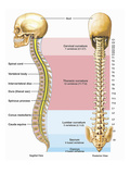 Illustration of the Anatomy of the Human Spine or Vertebral Column Giclee Print by  Nucleus Medical Art